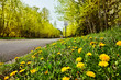 Quiet road with Spring dandelions & new leaf buds - 131822624