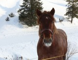 Draught horse on farm in winter. Agriculture.