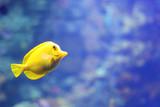 Yellow tang fish in its natural habitat in Kona, Hawaii