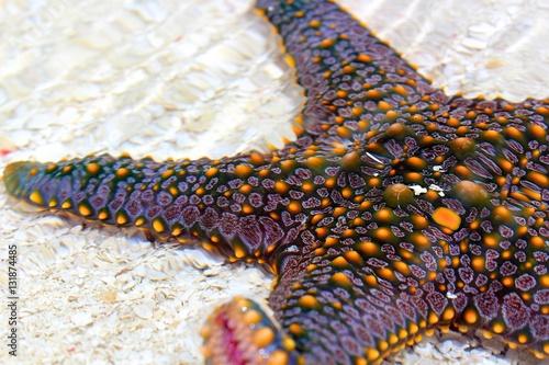 Pentaceraster Starfish on White Sand - Zanzibar