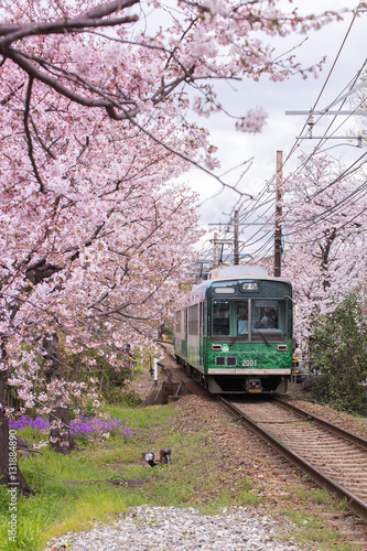 A local train running pass cherry blossom trees in Kyoto, Japan