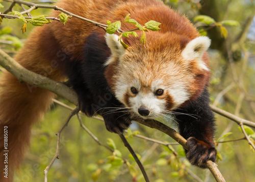 In de dag Rotterdam Red Panda clambering Zoo Rotterdam