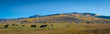 Cows grazing in colorado panorama