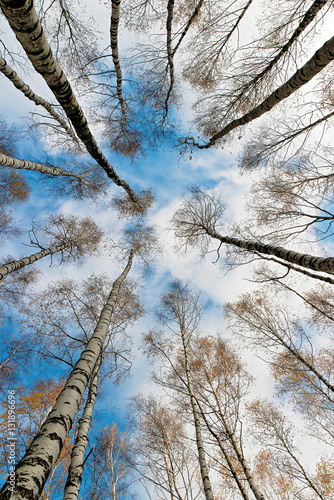 Papiers peints Bosquet de bouleaux The tops of the birch trees against of the sky