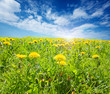 Sunny field of grass and dandelions on a Spring afternoon - 131902273