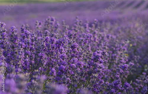 Foto op Canvas Violet Lavender flowers blooming on field in the summer