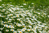 wild chamomile in the field - selective focus, copy space