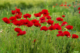 Wild poppies in a field - selective focus, copy space