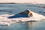 Beautiful polar bear in Arctic sea ice landscape