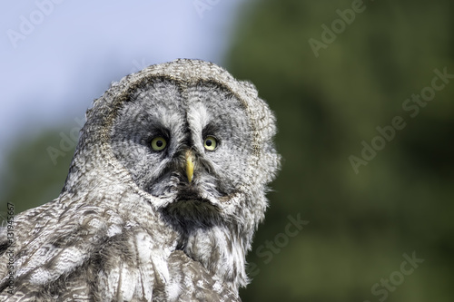 Poster Great Gray owl portrait image with copy space