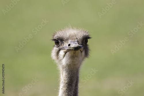 Ostrich (Struthio camelus) face with copy space. Poster