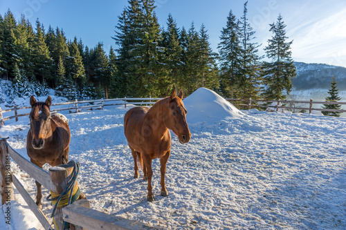 Poster Two brown handsome stallion horse in winter outdoors