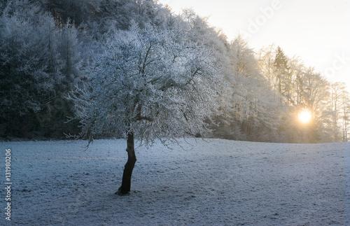 Fotobehang Grijs Rauraifbaum im letzten Sonnenlicht