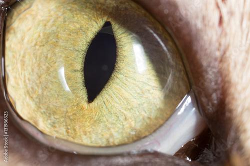 Poster yellow cat eyes. super macro