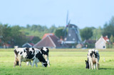 Cows in Dutch landscape in Holland
