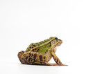 Black-Spotted Pond Frog in a studio