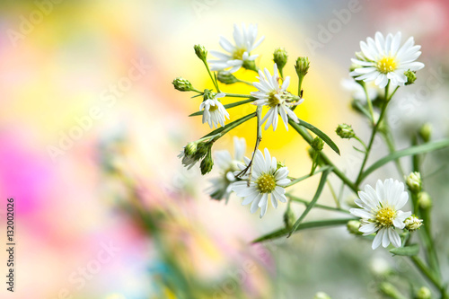Poster White Flower gypsophila on colorful background