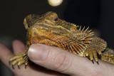 Bearded Dragon (Pogona) Being Held