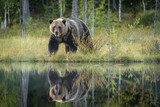 Reflection of Brown Bear by lake