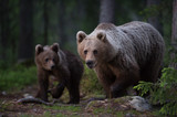 Brown Bear family in the forest