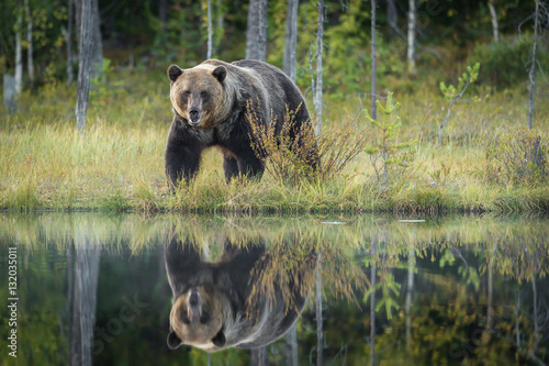 Reflection of Brown Bear by lake - 132035011