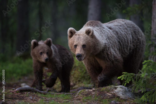 Brown Bear family in the forest - 132035013