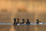 Group of tufted ducks in calm lake