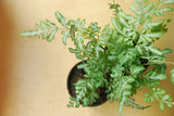 Houseplant fern with long green isolated