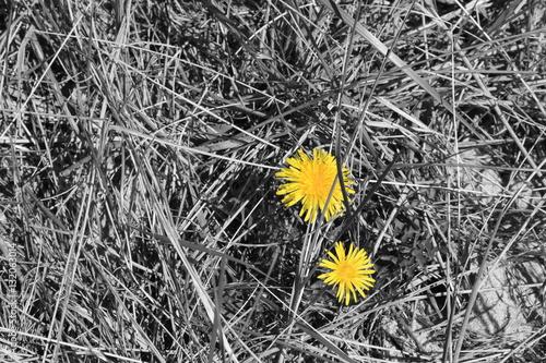 dmuchawiec-w-uschnietej-trawie-czesciowo-zabarwiony
