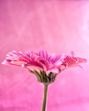 Gerbera close-up, macro (107)