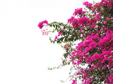 Pink Bougainvillea flower isolated - 132122469