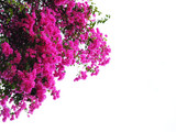 Fototapety Pink Bougainvillea flower isolated