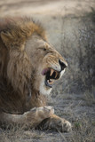Sneezing Lion, Serengeti