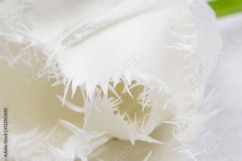 White, beautiful tulip with details  © ileana_bt