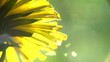 Dandelion flowers in the park, field closeup, macro. Nature scene. Slow motion 1080 full HD video footage. High speed camera shot 240 fps