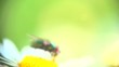 Daisy flower on the field and a fly extreme closeup, macro. Nature scene. Slow motion 1080 full HD video footage. High speed camera shot 240 fps