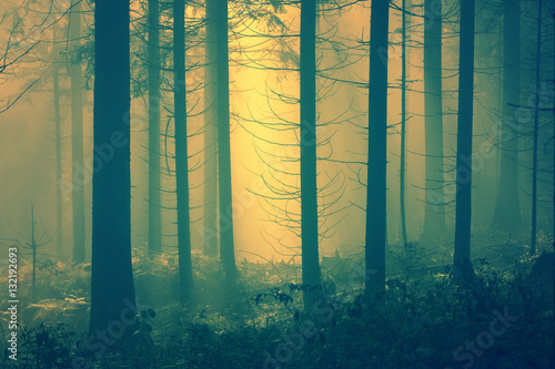 Mysterious yellow light in the foggy conifer forest. Poster