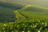 Curve of green tea farm at sunset, Chiang Rai, Thailand