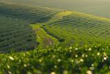 Curve of green tea farm at sunset, Chiang Rai, Thailand