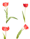 red tulip. isolated on white background. Set