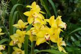 Fototapety Many bright yellow orchids.