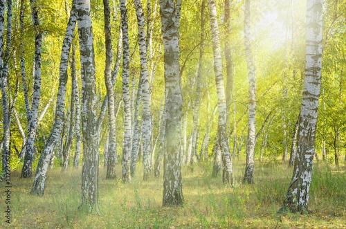 Landscape birch grove. Autumn. The lights of a sun.