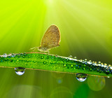 morning dew on a spring grass and butterfly