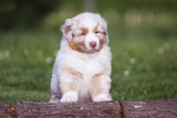 Cachorro de Pastor Australiano