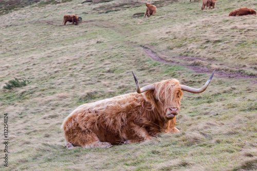 Poster Famous hairy coo long hair cow in Scottish hills resting on mead