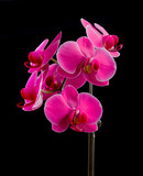 Pink moth orchid on black.