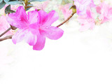 Pink Azalea or Rhododendron flower on white background