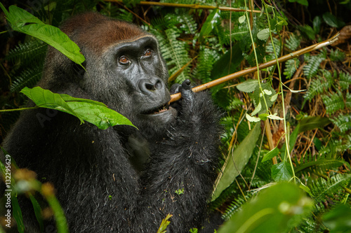 Poster eastern lowland gorilla in the darkness of african jungle, face to face, great d
