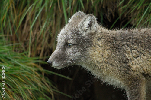 Poster Polar fox, Iceland