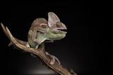 Kameleon na porożu